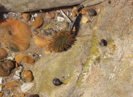 An open sea anemone in a rock pool