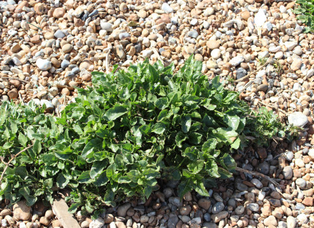 A shingle plant called sea beet