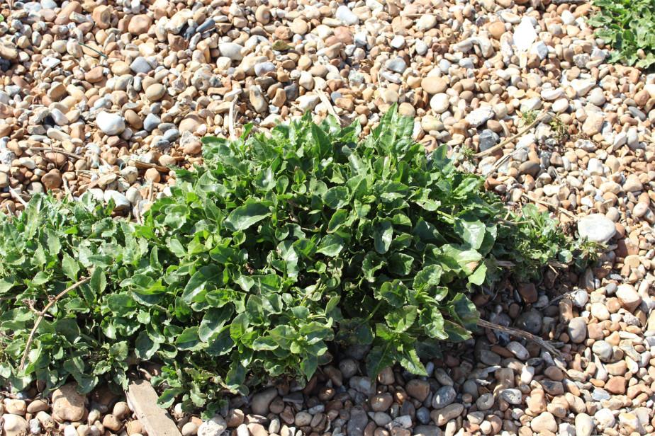 A shingle plant called sea beet