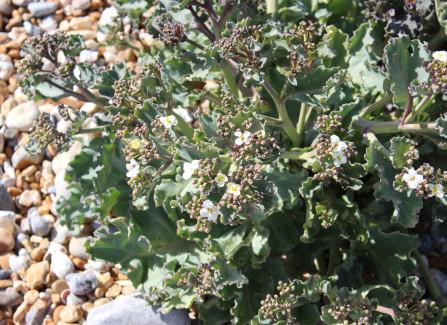 Sea kale, a beach plant