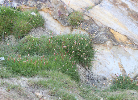 Coastal plant sea thrift