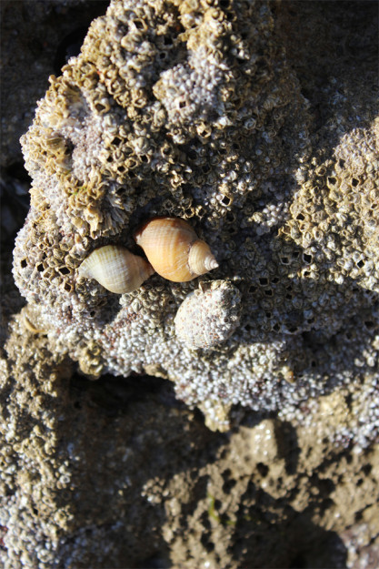 A common whelk
