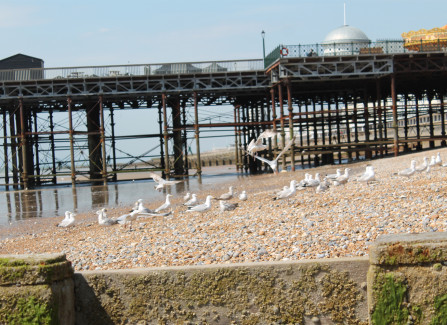 Herring gulls on Hastings beach