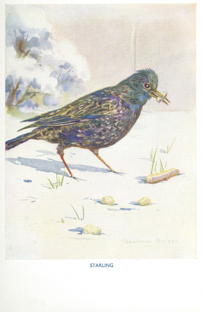 A print of a starling by Barbara Briggs